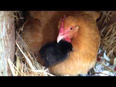 Will A Broody Hen Adopt Chicks?