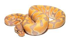 banana ball python.