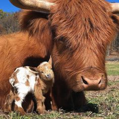 Fat – farm animals get fat- the animation HD - Cute and beautiful animals - Dogs Cute Little Animals, Cute Funny Animals, Nature Animals, Animals And Pets, Wildlife Nature, Wild Animals, Animals Images, Fluffy Cows, Baby Cows