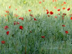 Spring flowers in Tuscany Maremma: poppies in May
