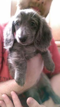 Silver Dapple Dachshund is so adorable!