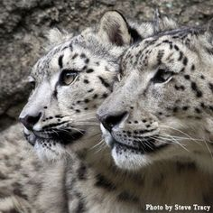 A side-view of two wonderful snow leopards.