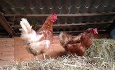 #hens #organic #eggs Ecotourism Podere Borgo di Vigoleno® Organic Eggs, Hens, Shop, Laying Hens, Store