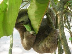 three toed sloth baby CR2012 by hamptonpdx, via Flickr