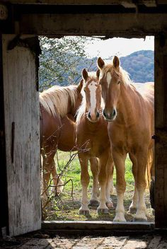 Let us in / beautiful horses / country life All The Pretty Horses, Beautiful Horses, Animals Beautiful, Beautiful Beautiful, Horse Pictures, Animal Pictures, Esprit Country, Belgian Horse, Farm Animals