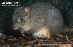 Adult northern bettong - endangered