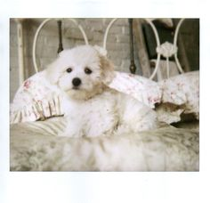 Baby Bichon - my favorite puppy of all time!!!