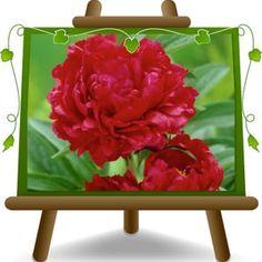 Vendita Online Piante Peonia Arborea Rossa in vaso. Spedizione Gratuita in Italia per Ordini superiori a solo €50,00. Shipping in Europe. Europlants