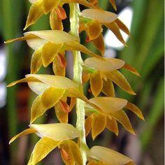 Orchid: Dendrochilum longifolium