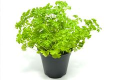 Planting Parsley - great activity for Tu Bishvat, and the parsley is grown by Passover!