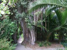 Metrosideros tree with a pathway running though in the Tresco Abbey Gardens, Cornwall.