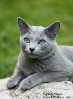 Top Cat Breeders...this is a Russian Blue
