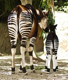 partially black and white.... Baby Okapi with its mother.