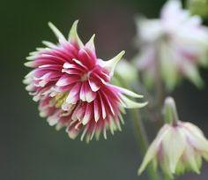 Mimmis blommor - Fröer 2011