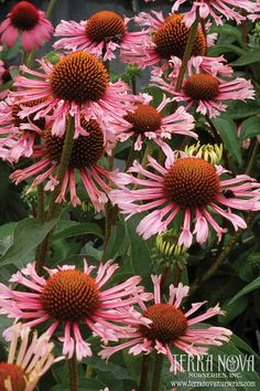 Echinacea 'Quills and Thrills' - Huge flowers with light purple pink quilled rays. This novelty is a super performer in the garden or vase. Tons of long lasting flowers thrill even the most jaded gardener. Use en masse for the border, in a mixed bed, and as a cut flower.