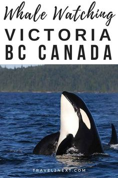 Orca Whale Watching From Victoria (BC). Visiting Vancouver Island? Thinking of whale watching, or more specifically orca whale watching? #canada #britishcolumbia #adventuretravel #whalewatching #thingstodo #victoria #ecotourism