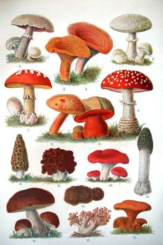 Mushrooms: L to R ~ Agaricus (possibly the Field Mushroom), Gomphus species possibly?, Amanita sp?, possibly Amanita cesar, Boletus species...possibly B. satanus, A. muscaria, Morel, Gyrometra species, Ramaria...possibly The Sickener, Stinkhorn, Bolete species...possibly King Bolete, Mazed polypore species, Coral species, Chanterel species?
