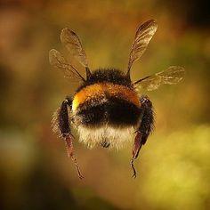 Prometheus: Furry bum of a Bumble Bee in flight.