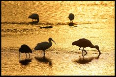 "Visual #BibleVerseoftheDay: Philippians 4:6-7 and Wading birds at Sunrise, Ding Darling National Wildlife Refuge, Sanibel Island, Florida. ""Be anxious for nothing, but in everything by prayer and supplication…  https://visualverse.thecreationspeaks.com/peace-of-god/"