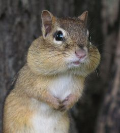 """POLL: Voters Tired of Chipmunk's Stump Speech  According to a new poll from ABC News and The Washington Post, voters are beginning to tire of the rhetoric from chipmunk congressional candidate Tino Honeydew.   """"He's been trotting out essentially the same speech since July,"""" said ABC News assistant political director Monica Loney. """"Our polling shows that voters are just tiring of hearing that same message over and over. They want to hear something new from Honeydew."""