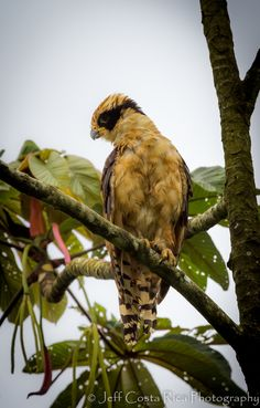 The Laughing Falcon (Herpetotheres cachinnans), also called the Snake Hawk (erroneously, since it is not a hawk), is a medium-sized bird of prey in the falcon family (Falconidae), the only member of the genus Herpetotheres. This Neotropical species is a specialist snake-eater. Its common and scientific names both refer to its distinctive voice.
