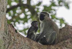 175 - Mono Verde y cria - parque nacional Queen Elizabeth - Uganda(2)