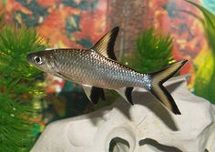 1000 Images About Fresh Water Fish Tank On Pinterest
