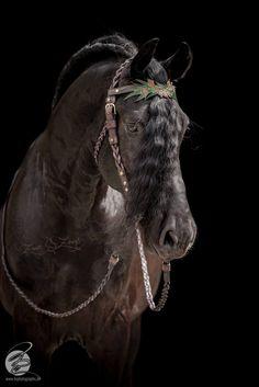 friesians - - - real life fairy tale horses