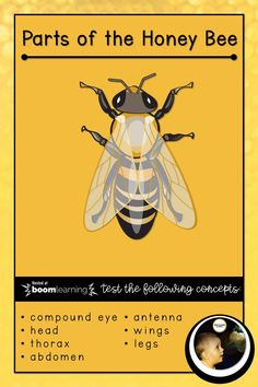 A quiz to test knowledge about parts of the Honey Bee, covering concepts such as: head thorax abdomen antenna wings legs compound eye materials materials materials learning bee Elementary Science, Teaching Science, Science Education, Science Activities, Teaching Resources, Montessori Materials, Teacher Style, Cloud Based, Teacher Humor