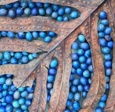"""fascination-of-plants: """"Blue Quandongs: Image by artist Shona Wilson. Please attritube to this artist and post found at FB page Homage to the Seed """""""