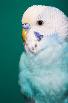 I have a pet parakeet named Clarabelle that looks very similar to this budgie. All Birds, Cute Birds, Pretty Birds, Little Birds, Beautiful Birds, Cockatiel, Budgies, Parrots, Nature