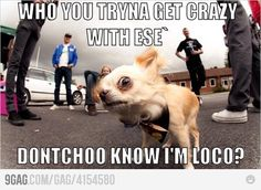 Dont mess with chihuahuas. funnies