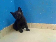 ChipIn: Trio of Mini Black Panthers pulled by Anjellicle Cats Rescue from NYC ACC