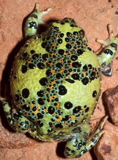"""""""The Holy Cross Frog, (Notaden bennettii), found in tropical, sub-tropical and temperate eastern Australia. This primitive toad is one of the few Australian frogs to display warning coloration, (aposmatism)."""""""