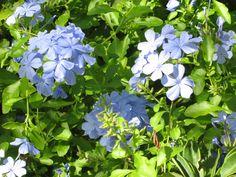 Blue Flowers Nassau Bahamas
