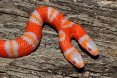 A two-headed albino Honduran milk snake is shown in Ridge Manor, Florida. Two-headed snakes can live as long as 20 years in captivity. But with two brains giving commands to a single body, the snake would have a difficult time surviving in the wild. Unusual Animals, Rare Animals, Animals And Pets, Funny Animals, Fierce Animals, Animals Images, Beautiful Creatures, Animals Beautiful, Animals Amazing