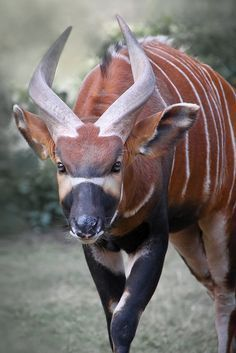 Bongo (Tragelaphus eurycerus) - the largest of the African forest antelope species  -  Endangered -  Red List of endangered species