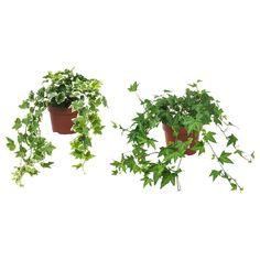 Regardez ce que j'ai trouvé chez IKEA - hedera helix Hedera Helix, Ivy Plants, Potted Plants, Cactus Plants, Foliage Plants, Ficus Microcarpa Ginseng, Fast Growing Climbers, Indoor Plants Online, Packaging