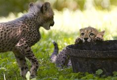 Two three-month-old cheetah cubs play over a container of water, while on public view at the National Zoo, in Washington, on Saturday, July 28, 2012. The cubs are trying out their first week on limited view to the public. (AP Photo/Jacquelyn Martin