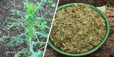 Υπάρχει ένα βότανο που μπορεί να ανακουφίσει τον πόνο με τον ίδιο τρόπο που το Arthritis, Get Healthy, How To Dry Basil, Green Beans, Health And Beauty, Remedies, Herbs, Vegetables, Ethnic Recipes