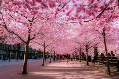 5 cerisier cherry blossoms japon sakura spring Japon Des Cerisiers en Fleurs pour un Joli Printemps