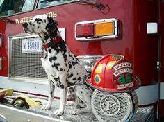 Kết quả hình ảnh cho firefighter dog
