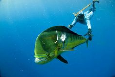 Spear fishing Mahi