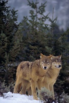 Two wolves in the wilderness.
