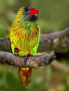Yellow-Streaked Lory is found in Indonesia and Papua New Guinea. Its natural habitats are subtropical or tropical moist lowland forests and subtropical or tropical mangrove forests.