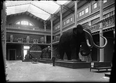 West Court with mammoth, mastodon and giant redwood slice and a man for scale indication , Field Columbian Museum  1895