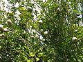 Gardenia thunbergia - Wikipedia