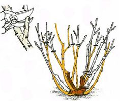 Ha jól metszed a rózsát, rengeteg virág lesz rajta! Megmutatjuk, melyik rózsafajtát, hogyan kell metszeni! - Ketkes.com Rose Cuttings, My Secret Garden, Garden Landscaping, Outdoor Gardens, Garden Design, Landscape, Bonsai, Gardening, Cook