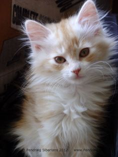 siberian kittens | Siberian Kittens of Pendraig - Traditional & Naturally Reared