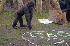 Vídeo: así celebró EBO, el primer gorila nacido en BIOPARC Valencia, su tercer cumpleaños (26-10-15) | www.bioparcvalencia.es